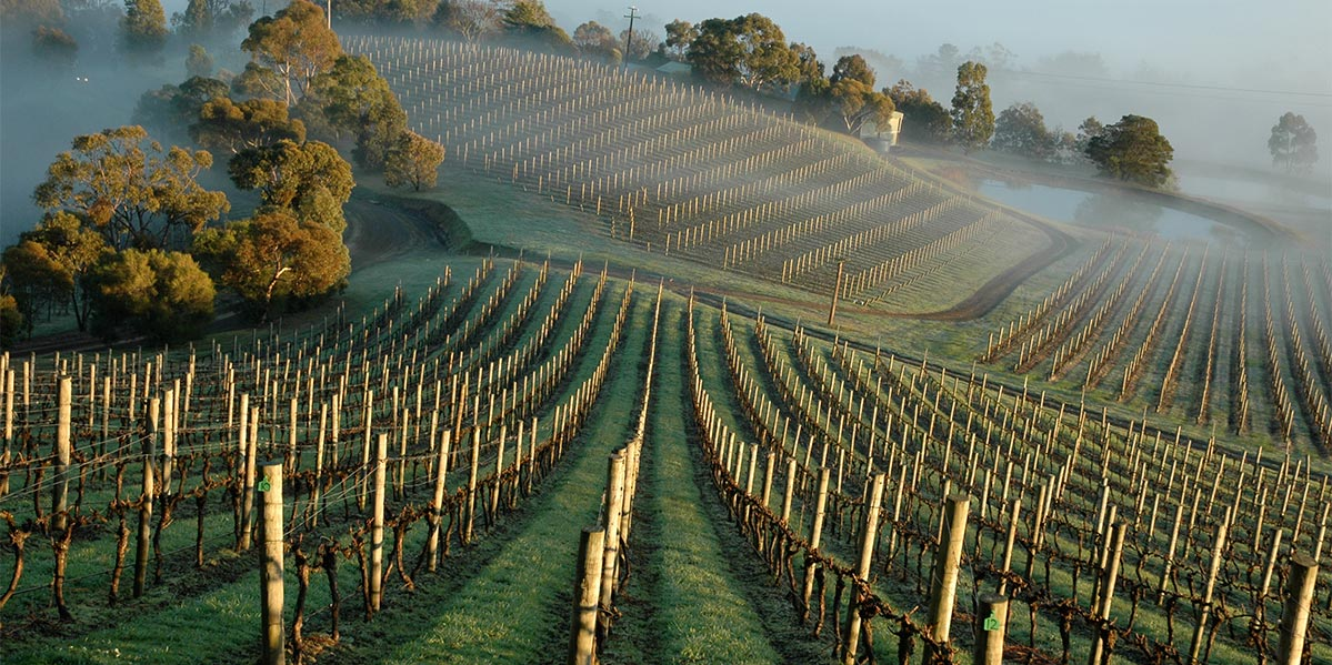 Coldstream Hills Foggy Vineyards