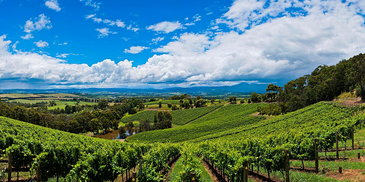 Coldstream Hills Panorama Vineyards