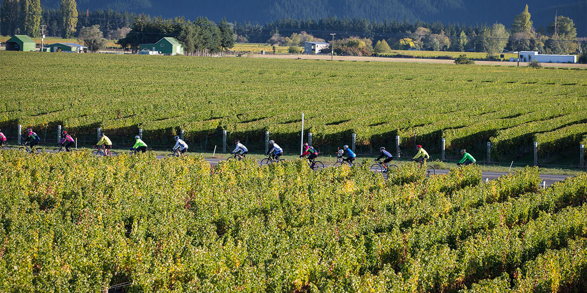 Matua Marlborough Vineyard with cyclists