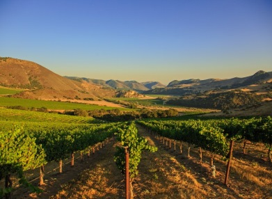 Beringer's North Canyon vineyards, looking over rows of vines towards hills in the distant background