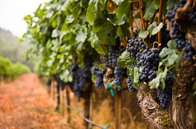 Bunches of black grapes hanging on vines
