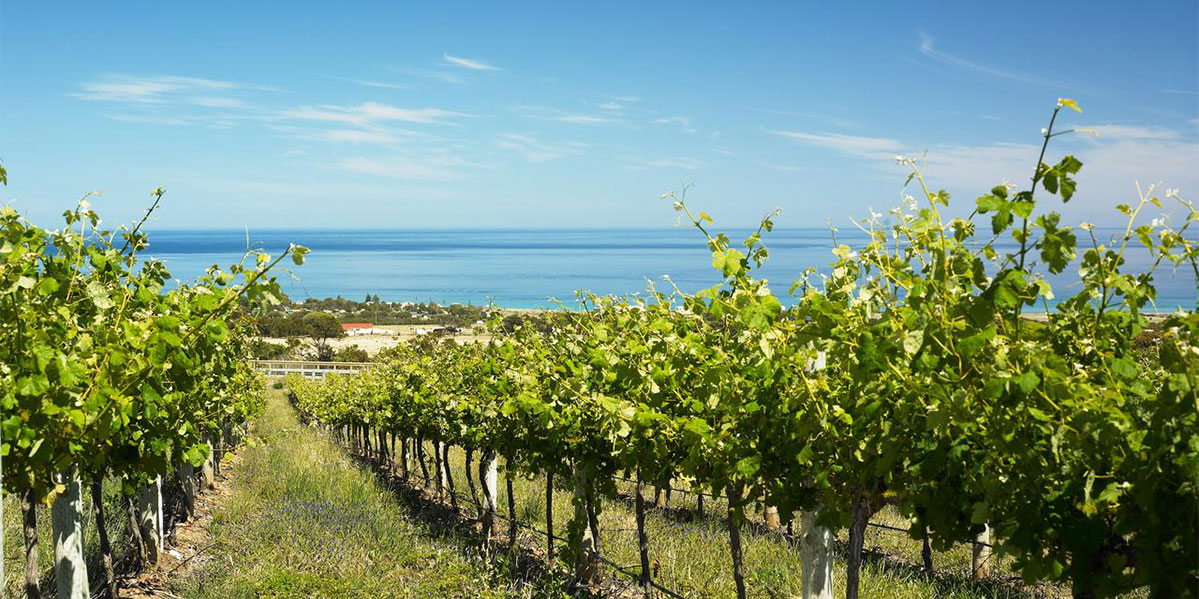 Rosemount Vineyard outlooking the sea