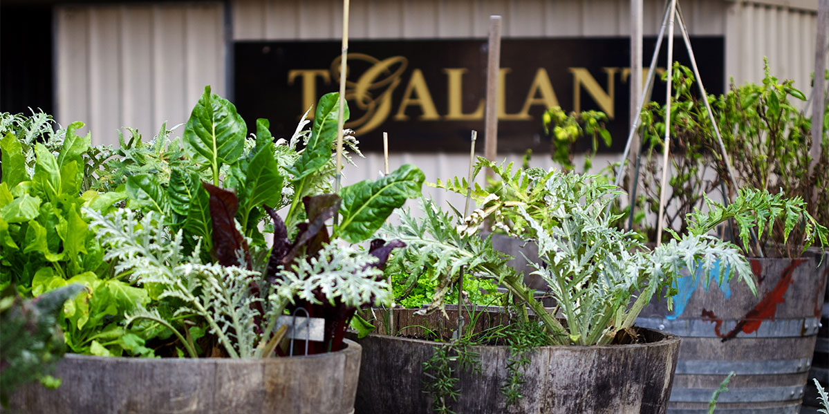 T'Gallant Potted Plants