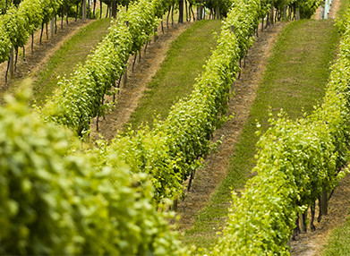 Rows of green grape vines on a hillside